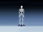 Skeleton: Budget Bart Skeleton (4th quality) 4-ft. tall without stand--Free Shipping